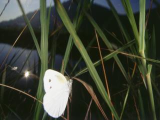 обои Белая бабочка у водоема фото