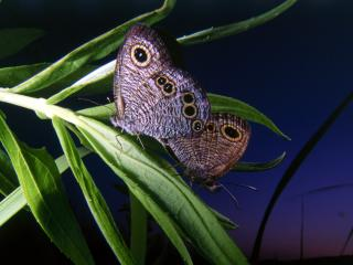 обои Две бабочки на зеленой веточке фото