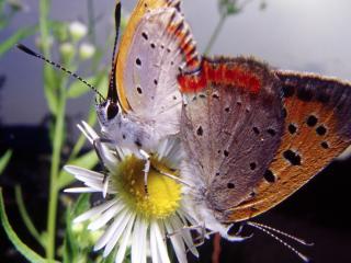 обои Две пушистых бабочки на цветке ромашке фото