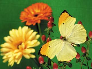 обои Желтая бабочка,   плоды и цветы фото