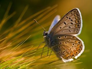 обои Красивая бабочка,   мохнатые крылышки фото