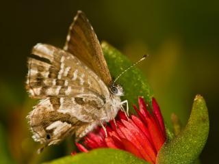 обои Пушистая бабочка,   красный цветок фото