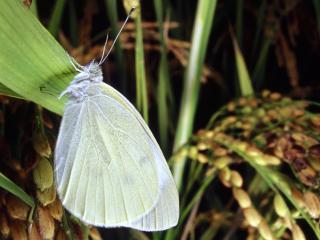обои Светлая бабочка на траве фото