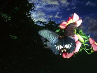 обои Темная бабочка на красных цветах,   темное небо фото
