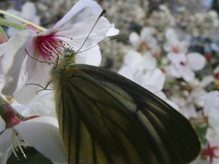 обои Бабочка на белых цветах фото