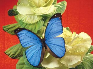 обои Бабочка с крылышками голубого цвета фото