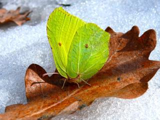 обои Бабочка с салатовыми крыльями фото