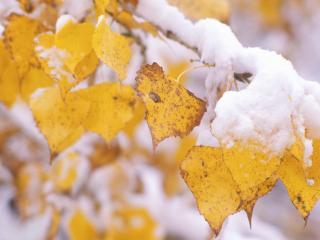 обои Ранний снег на желтой листве фото