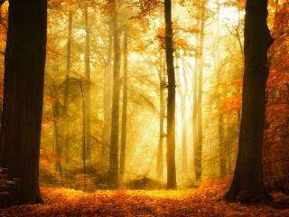 обои Красная осень,   старый лес,   лучи солнца фото