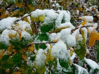 обои Ранний осенний снег на зеленых листьях фото