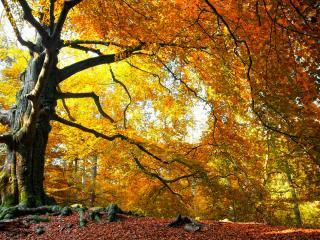 обои Старое дерево в осеннем наряде фото