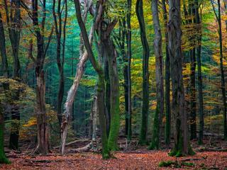 обои Старый лес,   осень наступила фото