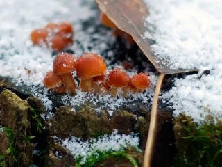 обои Маленькие грибочки замерзли от неожиданного холода фото