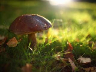 обои Трава,   опавшие листья,   одинокий гриб фото