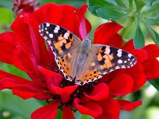 обои Красная бабочка фото