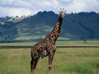 обои Жираф на фоне холмов в Африке фото