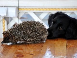 обои Ёж и собака фото