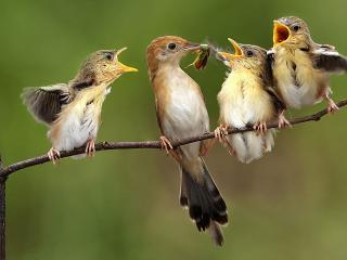 обои Птенцы в ожидании пищи фото