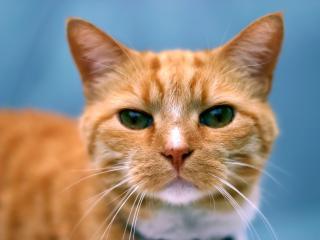 обои Рыжий кот фото