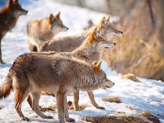 обои Стая волков на снегу фото