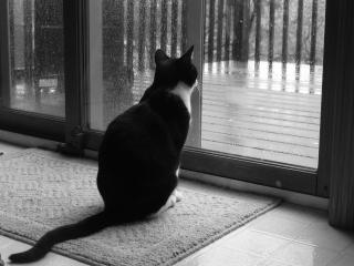 обои Кот смотрит на дождь фото