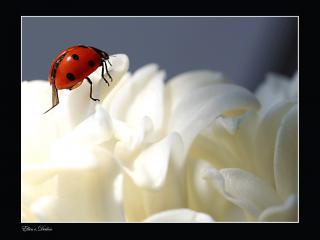 обои Божья коровка,   белые цветы фото
