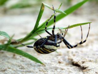 обои Большой паук на траве фото