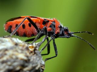 обои Возвышенный красный жук фото