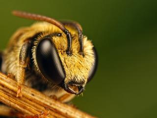 обои Глаза пчелы фото