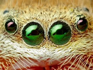 обои Глазища паука фото