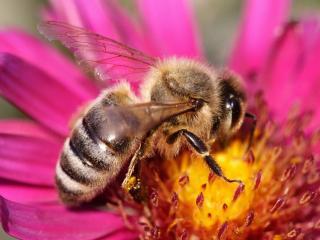 обои Забавная пчелка труженица фото