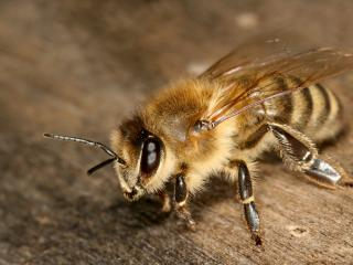обои Забавная пчелка,   фото фото