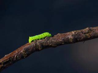 обои Зеленая гусеница на ветке дерева фото