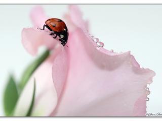 обои Красивый лепесток розы,   божья коровка фото