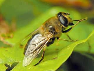 обои Муха похожая на пчелу фото