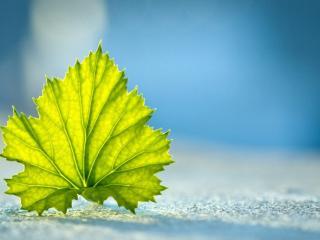 обои Одинокий зеленый лист фото