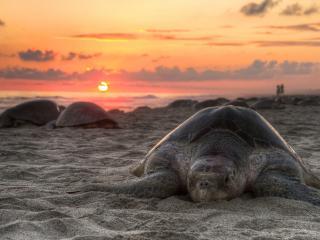 обои Пляж морских черепах на закате фото