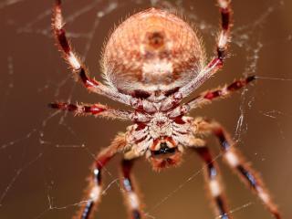 обои Огромный лесной паук фото