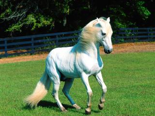 обои Белая лошадь в загоне фото