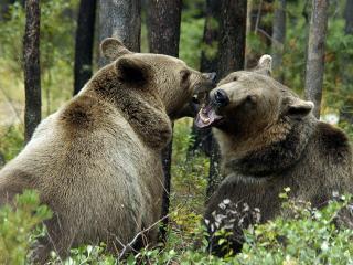 обои Два медведя фото