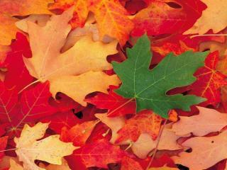 обои Контраст осенних листьев фото
