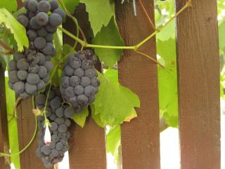 обои Черный виноград у забора фото