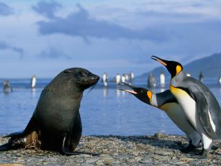 обои Пингвины ругают тюленя фото