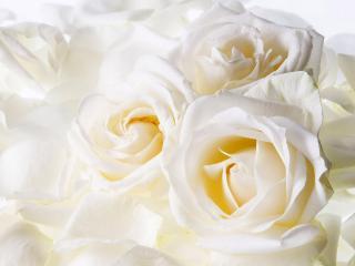 обои Шикарный букет из белых роз фото