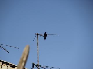 обои Ворона на антенне фото