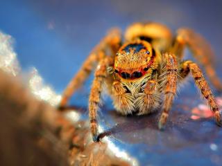 обои Оранжевый паук фото
