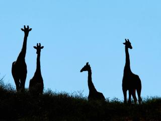 обои Жирафы фото