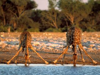 обои Жирафы на водопое фото