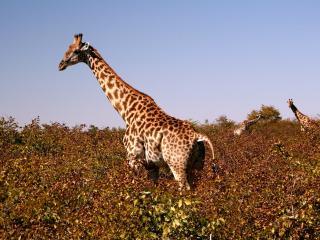 обои Красивый жираф фото