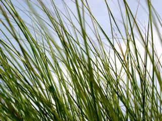 обои Тонкие травинки фото